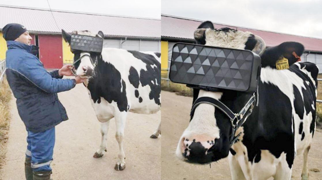 vr mucche